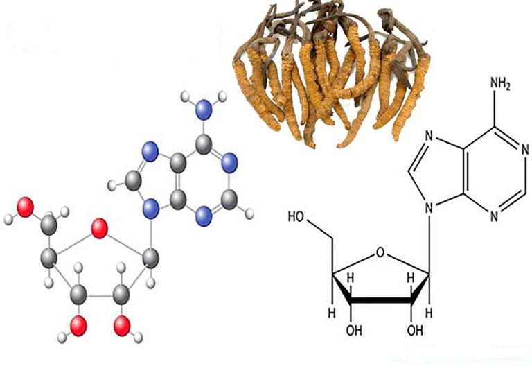 Cấu trúc phân tử của Cordycepin và Adenosine trong đông trùng
